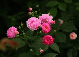 唯美盛開的薔薇花高清壁紙欣賞