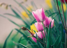 唯美郁金香植物花卉圖片桌面壁紙