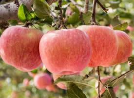 白水蘋果以肉美色艷、 酸甜適中、