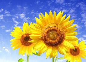 唯美向日葵植物花卉圖片桌面壁紙