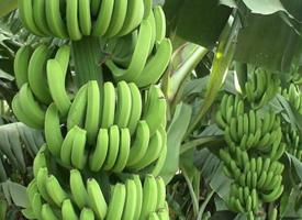 一組特別新鮮的綠色香蕉圖片欣賞