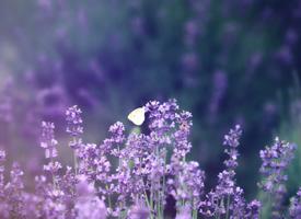 一組紫色浪漫薰衣草高清圖片欣賞