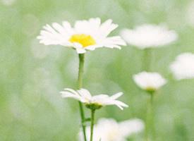 一組小清新美麗的雛菊花圖片欣賞