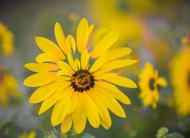 盛開的向日葵高清桌面壁紙
