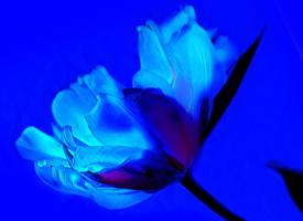 一組唯美藍色鮮花高清圖片欣賞