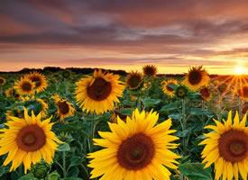 唯美綻放的太陽花圖片桌面壁紙