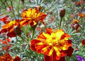 孔雀草是中國引進的墨西哥花卉