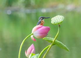 鳥兒在荷花上嬉戲的超美畫面圖片
