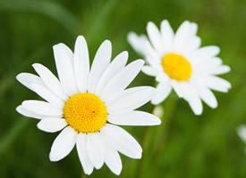 小清新雛菊花卉圖片桌面壁紙