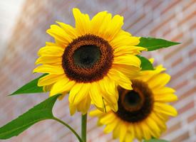 漂亮的向日葵唯美高清圖片欣賞