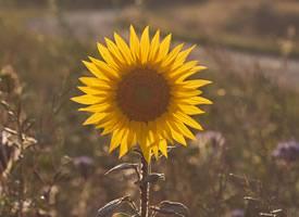 一組陽光滿滿的向日葵圖片欣賞