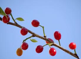 一組紅彤彤的櫻桃圖片欣賞
