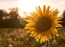 一組燦爛開放的向日葵圖片欣賞