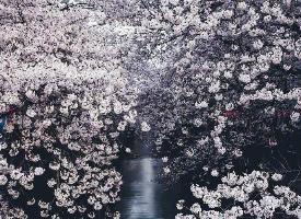 一組美麗夢幻的櫻花圖片