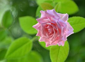 一組清新養眼的粉色系花卉圖片欣賞