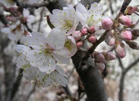 一組唯美清新的櫻花圖片欣賞