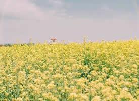 一組金燦燦的油菜花田圖片