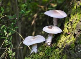 一組白色干凈的小蘑菇圖片欣賞