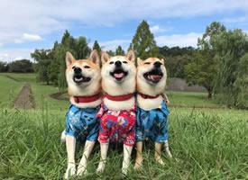 可愛的三只小柴的合照日常圖片欣賞