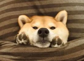 一組忠誠可愛的柴犬圖片