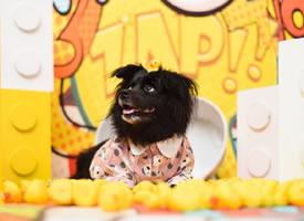 一組黑色長毛毛的狗狗圖片欣賞
