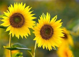 一組葵花朵朵開~能量自然來