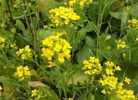 菜地里陽光滿滿的小菜花圖片欣賞