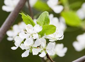 一組白花花清新的梨花圖片欣賞
