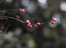一組還未盛開的梅花花苞圖片欣賞