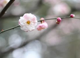 一組盛開著粉色梅花圖片欣賞