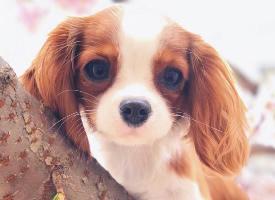 一組活潑的查理王小獵犬圖片