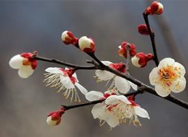 一組白色梅花~潔白清雅之美