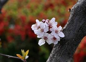 墻角數枝梅,凌寒獨自開的梅花圖片
