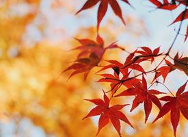 秋日唯美楓葉攝影圖片手機壁紙