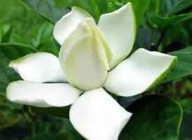 梔子花的花語——永恒的愛