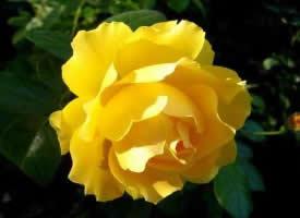 嬌艷的黃色月季花圖片