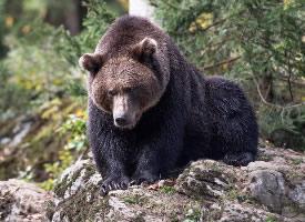 大型野生動物棕熊圖片