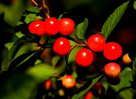 成熟的紅色毛櫻桃圖片欣賞