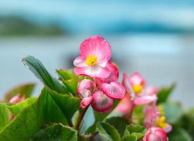 艷麗的秋海棠花圖片