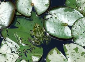 一組農民伯伯的好朋友青蛙圖片