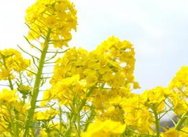 金燦燦的成片油菜花圖片