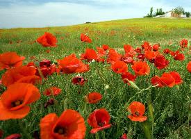 一組唯美的罌粟花圖片