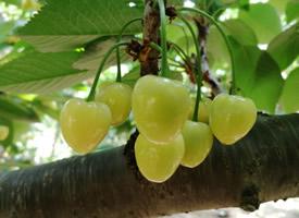 一組黃色的黃蜜大櫻桃圖片欣賞