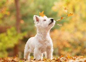 西高地的秋景里拍照的小狗狗