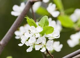 一組清幽素雅的梨花圖片欣賞