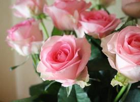 清新美麗的粉色玫瑰圖片