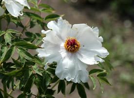 高貴優雅的白色牡丹花圖片