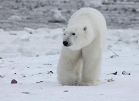 一組體型龐大的北極熊圖片欣賞