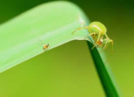 令人畏懼的綠蜘蛛高清圖片欣賞