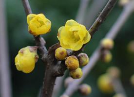 傲雪斗霜的黃色臘梅花圖片